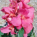 Canna lily Rosea Superb