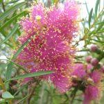 Melaleuca fulgens purple - Australian native plant