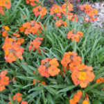Erysimum Apricot Delight - Perennial Plant