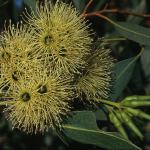 Eucalyptus ocidentalis - Australian native plant