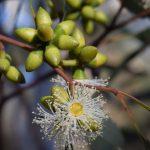 Eucalyptus flindersii - Australian native plant