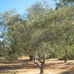 Eucalyptus morissii - Australian native plant