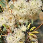 Eucalyptus stowardii - Australian native plant