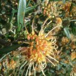 Grevillea Apricot Glow - hardy Australian native plant