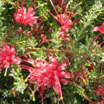 Grevillea hirtella - Australian native plant