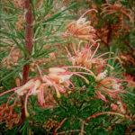 Grevillea sempeflorens - Australian Native Plant
