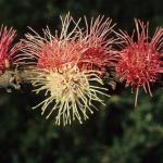 Hakea obtusa - Australian Native Plant