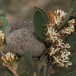 Hakea pandanicarpa -Australian native plant