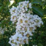 Lagerstroemia Natchez - Summer Flowering