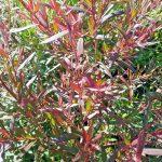Leptospermum Copper Glow -Australian native plant