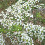 Leptospermum flavescens prostrate -Australian native plant