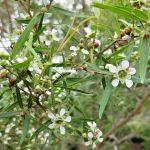 Leptospermum petersonii -Australian native plant