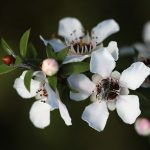 Leptospermum scoparium - Australian native plant