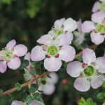 Leptospermum squarrosum - Australian native plant