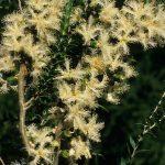 Melaleuca cardiophylla - Australian native plant