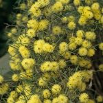 Melaleuca glomerata - Australian native plant