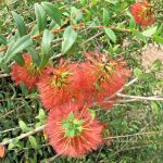 Melaleuca hypericifolia - Australian native plant