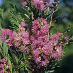 Melaleuca laxiflora - Australian native plant