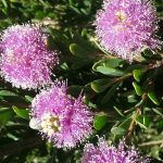 Melaleuca nesophila Little Nessie- Australian native plant