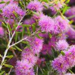 Melaleuca pentagona ssp pentagona - Australian native plant