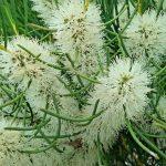 Melaleuca teretifolia - Australian native plant
