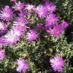 Mesembryanthemum purple (pigface)