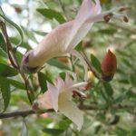 Eremophila maculata shell pink - hardy Australian native plant