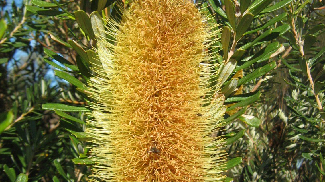 Banksia marginata - Australian native plant