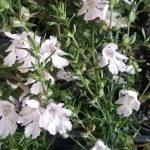 Prostanthera Poorinda Ballerina - Australian native plant