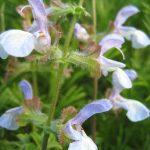 Salvia africans caerulea - Hardy Perennial Plant