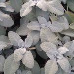 Salvia officinalis Berggarten - Hardy Perennial Plant