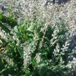Salvia disermis white - hardy perennial plant