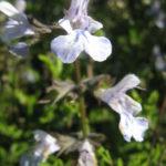 Salvia Fingrove - Perennial Plant