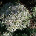 Sedum Thundercloud - Autumn Flowering