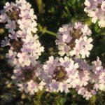Verbena rigida - long flowering hardy perennial plant