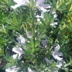 Westringia Screen Machine - Australian native plant