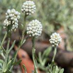 Calocephalus lacteus foliage - Hardy Australian Native