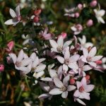 Philotheca - Australian Native Plant