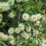 Melaleuca incana nana - Australian Native Plant