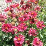 Gaillardia Flame - Drought Hardy Perennial Plant