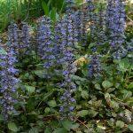 Ajuga reptans - Perennial Plant