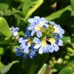 Scaevola calendulacea - Hardy Australian Native Plant