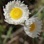 Chrysocephalum baxteri - small paper daisy