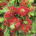 Callistemon Little John - Hardy Australian Native Plant