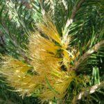 Calothamnus quadrifidus yellow - Drought Hardy Australian Native Plant