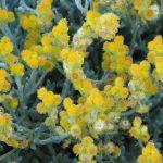 Chrysocephalum apiculatum- Hardy Australian Native Plant