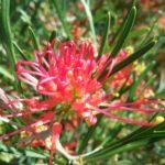 Grevillea Red Sunset - hardy Australian native shrub
