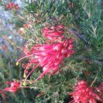 Grevillea thelemanniana Walkaway Wanderer - Hardy Australian Native Plant
