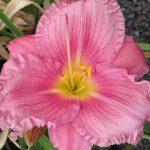 Hemerocallis Coming up Roses