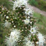 Kunzea ambigua prostrate - Australian Native Plant